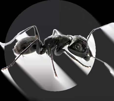 image-fourmis