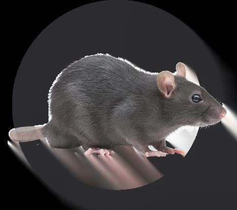 image-rat