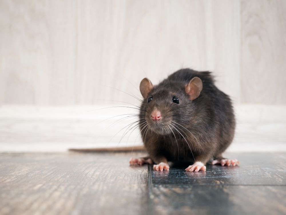 how-to-keep-rats-away-naturally